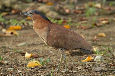 Malayan Night Heron / 黑冠鳽 Gorsachius melanolophus Family Ardeidae Da'an Forest Park, Taipei City, Taiwan 16 August 2013