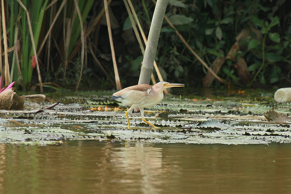 Yellow Bittern / 黄苇鳽  Ixobrychus sinensis Family Ardeidae Lake Ci, Jinning, Kinmen, Taiwan 14 August 2014