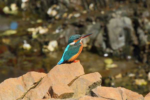 "Common Kingfisher / 물총새 ""Indian"" subspecies Alcedo atthis bengalensis Eocheong-do, Jeollabuk-do, South Korea 6 May 2014"