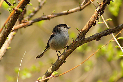 "Long-tailed Tit / 오목눈이 ""Korean"" subspecies Aegithalos caudatus magnus Gwangjuho Ecological Park, Chunghyo-dong, Gwangju, South Korea 7 April 2013"