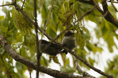 "Long-tailed Tit (fledgling) / 오목눈이 ""Korean"" subspecies Aegithalos caudatus magnus Taejongdae Park, Dongsam 2-dong, Busan, South Korea 20 April 2014"