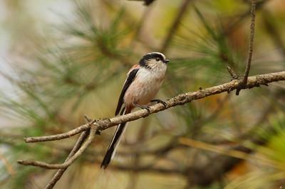 """Long-tailed Tit / 오목눈이 """"Korean"""" subspecies Aegithalos caudatus magnus Gunwangbong, Duam-dong, Gwangju, South Korea 23 November 2014"""