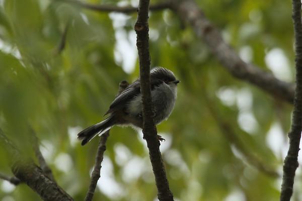 "Long-tailed Tit (fledgling) / 오목눈이 ""Korean"" subspecies Aegithalos caudatus magnus Taejongdae Park, Dongsam 2-dong, Busan, South Korea 20 April 2014"