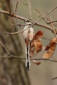 "Long-tailed Tit / 오목눈이 ""Korean"" subspecies Aegithalos caudatus magnus Gakhwa Reservoir, Gakhwa-dong, Gwangju, South Korea 28 February 2014"