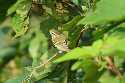 Yellow-browed Warbler / 노랑눈썹솔새 Phylloscopus inornatus Family Phylloscopidae Gageo-do, Jeollanam-do, South Korea 7 September 2014