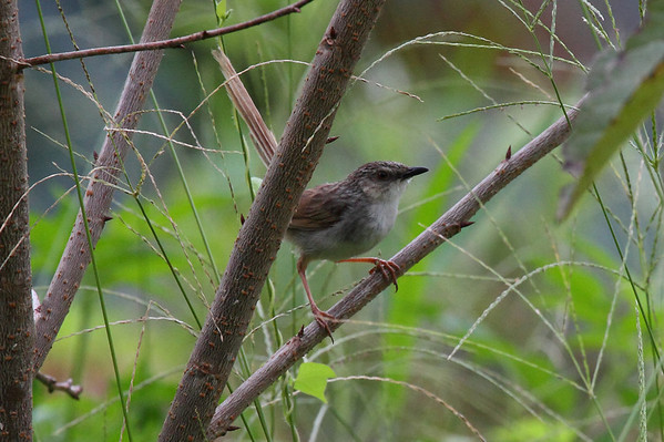 "Striated Prinia / 山鹪莺 ""Taiwan"" subspecies Prinia crinigera striata Family Cisticolidae Dingbenzai, Zhuqi Township, Chiayi County, Taiwan 13 August 2013"