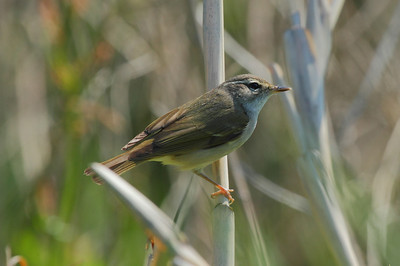 Kamchatka Leaf Warbler / 쇠솔새 Phylloscopus examinandus Family Phylloscopidae Eocheong-do, Jeollabuk-do, South Korea 6 May 2014