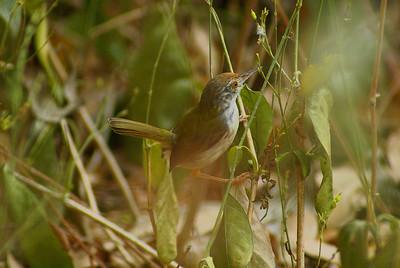 Common Tailorbird / นกกระจิบธรรมดา maculicollis subspecies Orthotomus sutorius maculicollis Family Cisticolidae Choeung Ek, Phnom Penh, Cambodia 21 February 2014
