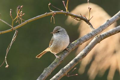 "Japanese Bush Warbler / 섬휘파람새 ""Korean"" subspecies Horornis diphone cantans Family Cettiidae Gwangjuho Lake Ecological Park, Chunghyo-dong, Gwangju, South Korea 4 March 2014"
