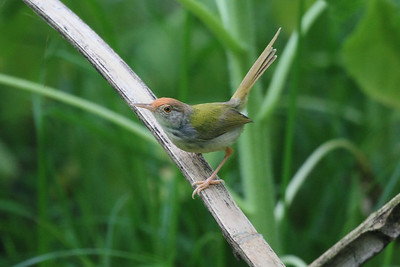 Common Tailorbird / 火尾縫葉鶯 longicauda subspecies Orthotomus sutorius longicauda Family Cisticolidae Seven Star Park, Guilin, Guangxi, China 9 August 2014