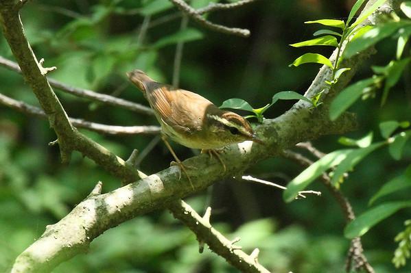Asian Stubtail / 숲새 Urosphena squameiceps Family Cettiidae Gunwangbong, Gakhwa-dong, Gwangju, South Korea 2 June 2013
