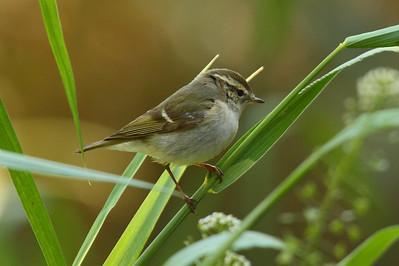 Yellow-browed Warbler / 노랑눈썹솔새 Phylloscopus inornatus Family Phylloscopidae Eocheong-do, Jeollabuk-do, South Korea 3 May 2014