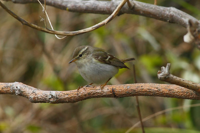 Yellow-browed Warbler / 노랑눈썹솔새 Phylloscopus inornatus Family Phylloscopidae Eocheong-do, Jeollabuk-do, South Korea 4 May 2014