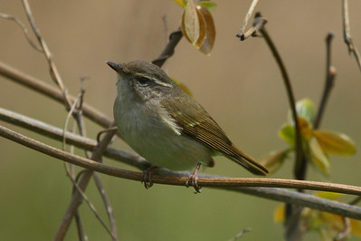 Kamchatka Leaf Warbler / 쇠솔새 Phylloscopus examinandus Family Phylloscopidae Eocheong-do, Jeollabuk-do, South Korea 4 May 2014