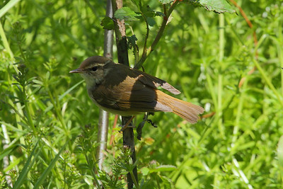 Kamchatka Leaf Warbler / 쇠솔새 Phylloscopus examinandus Family Phylloscopidae Eocheong-do, Jeollabuk-do, South Korea 5 May 2014