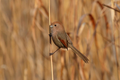 Vinous-throated Parrotbill / 붉은머리오목눈이 fulvicauda subspecies Sinosuthora webbiana fulvicauda Family Sylviidae Gwangjuho Lake Ecology Park, Chunghyo-dong, Gwangju, South Korea 4 March 2014