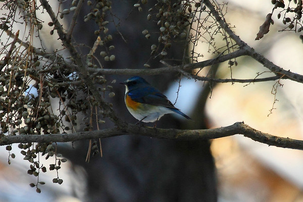 Red-flanked Bluetail (male) / 유리딱새Tarsiger cyanura Gakhwa Reservoir, Gakhwa-dong, Gwangju, South Korea 14 December 2014