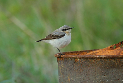 Northern Wheatear / 북방사막딱새 Nominate subspecies Oenanthe oenanthe oenanthe Eocheong-do, Jeollabuk-do, South Korea 5 May 2014