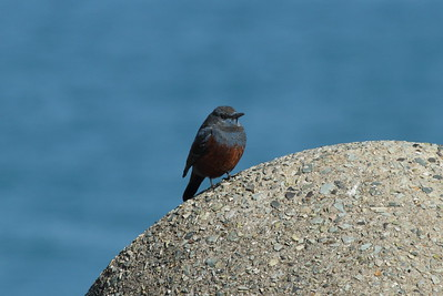 "Blue Rock Thrush (male) / 바다직박구리 ""Red-bellied"" subspecies Monticola solitarius philippensis Igidae Park, Busan, South Korea 31 January 2015"