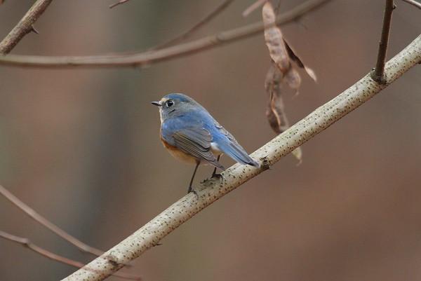 Red-flanked Bluetail (male) / 유리딱새Tarsiger cyanura Gakhwa Reservoir, Gakhwa-dong, Gwangju, South Korea 28 December 2014