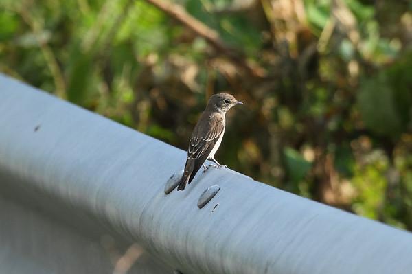 Grey-streaked Flycatcher / 제비딱새 Muscicapa griseisticta Gageo-do, Jeollanam-do, South Korea 6 September 2014