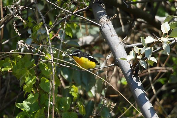 Yellow-rumped Flycatcher (male) / 흰눈썹황금새 Ficedula zanthopygia Eocheong-do, Jeollabuk-do, South Korea 6 May 2014