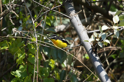 Yellow-rumped Flycatcher (male) / 흰눈썹황금새 Ficedula zanthopygia Eocheong-do, Jeollabuk-do, South Korea 6 May 2014