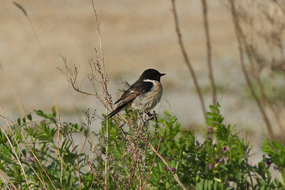 Stejneger's Stonechat (male) / 검은딱새 Saxicola stejnegeri Eocheong-do, Jeollabuk-do, South Korea 5 May 2014