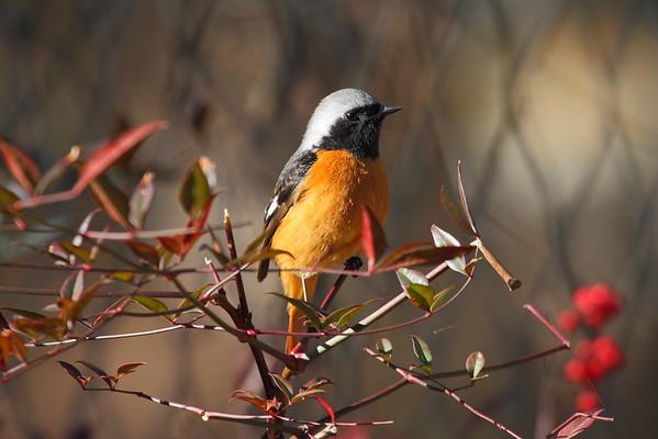 Daurian Redstart (male) / 딱새 Nominate subspecies Phoenicurus auroreus auroreus Igidae Park, Busan, South Korea 31 January 2015