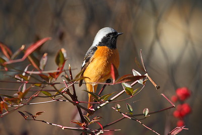Daurian Redstart (male) / 딱새 Nominate subspecies Phoenicurus auroreus auroreus Igidae Park, Busan, South Korea 31 January 2015