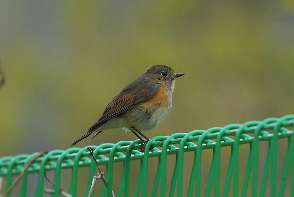 Red-flanked Bluetail (female) / 유리딱새Tarsiger cyanura Eocheong-do, Jeollabuk-do, South Korea 4 May 2014