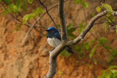 Blue-and-white Flycatcher (male) / 큰유리새 Nominate subspecies Cyanoptila cyanomelana cyanomelana Eocheong-do, Jeollabuk-do, South Korea 3 May 2014