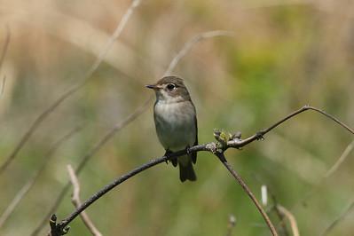 Asian Brown Flycatcher / 쇠솔딱새 Nominate subspecies Muscicapa latirostris latirostris Eocheong-do, Jeollabuk-do, South Korea 3 May 2014