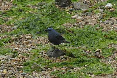 "Blue Rock Thrush (male) / 바다직박구리 ""Blue"" subspecies Monticola solitarius pandoo Eocheong-do, Jeollabuk-do, South Korea 4 May 2014"