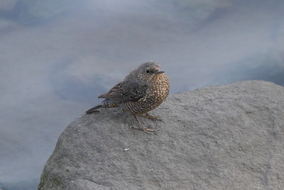 "Blue Rock-thrush (female) / 바다직박구리 ""Red-bellied"" subspecies Monticola solitarius philippensis Nakdonggang River Estuary, Myeongji-dong, Busan, South Korea 31 January 2015"