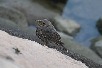 "Blue Rock Thrush (female) / 바다직박구리 ""Red-bellied"" subspecies Monticola solitarius philippensis Nakdonggang River Estuary, Myeongji-dong, Busan, South Korea 31 January 2015"
