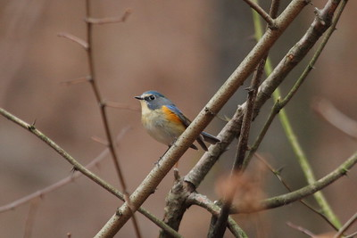 Red-flanked Bluetail (male) / 유리딱새Tarsiger cyanura Gakhwa Reservoir, Gakhwa-dong, Gwangju, South Korea 28 December 2014