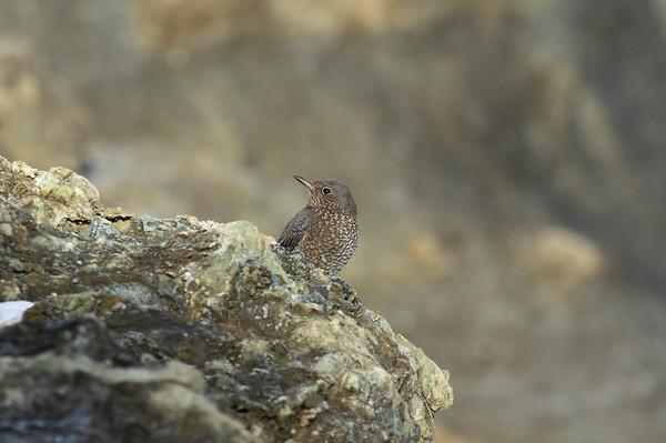 "Blue Rock Thrush (female) / 바다직박구리 ""Red-bellied"" subspecies Monticola solitarius philippensis Igidae Park, Yongho 3 ga-dong, Busan, South Korea 15 November 2014"