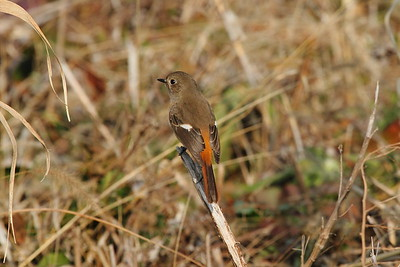 Daurian Redstart (female) / 딱새 Nominate subspecies Phoenicurus auroreus auroreus Gangjin Bay, Gangjin-gun, Jeollanam-do, South Korea 4 January 2015
