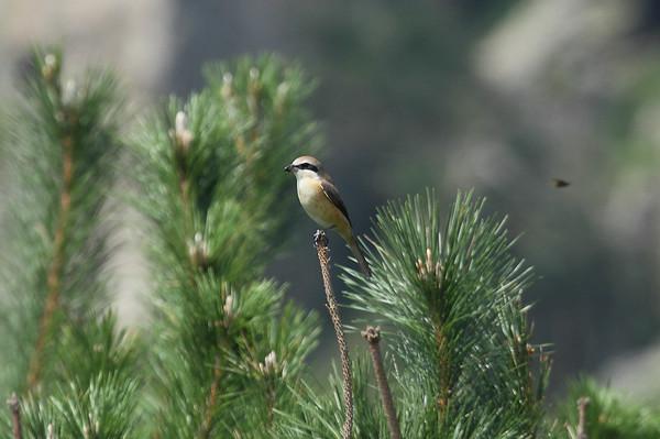 Brown Shrike / 노랑때까치 Nominate subspecies Lanius cristatus cristatus Gageo-do, Jeollanam-do, South Korea 7 September 2014