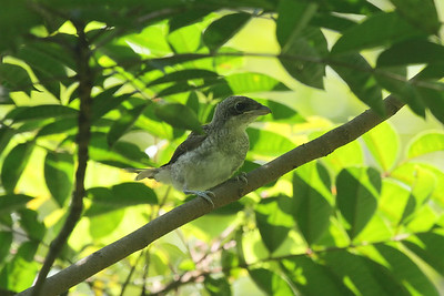 Tiger Shrike (fledgling) / 칡때까치 Lanius tigrinus Chungpung-dong, Gwangju, South Korea 27 July 2014
