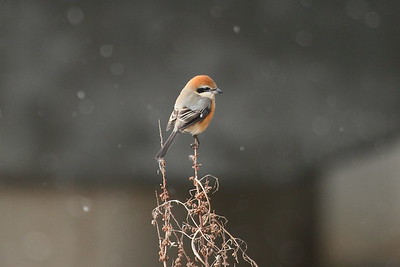 Bull-headed Shrike (male) / 때까치 Nominate subspecies Lanius bucephalus bucephalus Yeongsangang River, Dongnim-dong, Gwangju, South Korea 1 January 2015