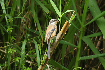 Long-tailed Shrike / 棕背伯劳 Nominate subspecies Lanius schach schach Ninghu Road, Jinning, Kinmen, Taiwan 14 August 2014