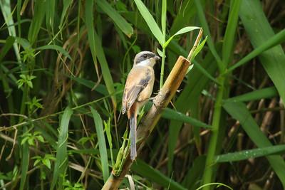 Long-tailed Shrike / 棕背伯劳 Nominate subspecies Lanius schach schach Ninghu Road, Jinning, Kinmen, Taiwan 14 August 2014