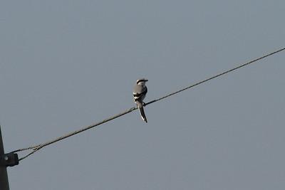Chinese Grey Shrike / 물때까치 Nominate subspecies Lanius sphenocercus sphenocercus Gocheonnamho Lake, Hwangsan-myeon, Haenam-gun, Jeollanam-do, South Korea 25 October 2014