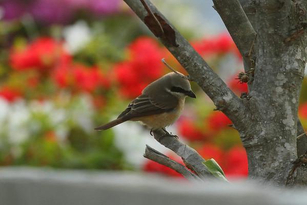 "Brown Shrike / 노랑때까치 ""Philippine"" subspecies Lanius cristatus lucionensis Eocheong-do, Jeollabuk-do, South Korea 3 May 2014"