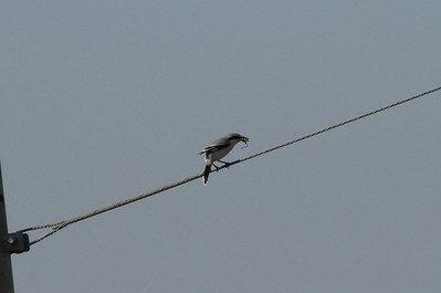 Chinese Grey Shrike / 물때까치 Nominate subspecies Lanius sphenocercus sphenocercus Gocheonnamho Lake, Hwangsan-myeon, Haenam-gun, Jeollanam-do, South Korea 25 October 2014