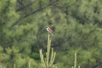 Tiger Shrike/ 칡때까치 Lanius tigrinus Bonggoksa Temple, Dongbu-myeon, Geoje-si, Gyeongsangnam-do, South Korea 7 June 2014