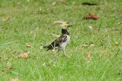 Black-collared Starling / 黑领椋鸟 Gracupica nigricollis Da'an Forest Park, Taipei City, Taiwan 15 August 2013