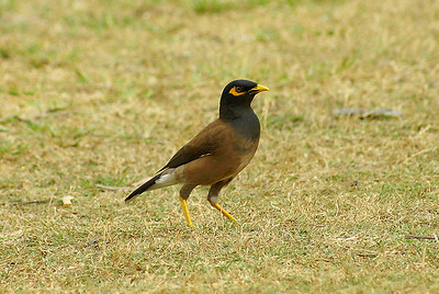 Common Myna / นกเอั้ยงหงอนก้นลาย Nominate subspecies Acridotheres tristis tristis Angkor Wat, Siem Reap, Cambodia 17 February 2014